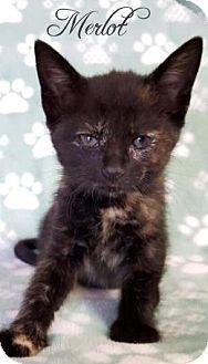 Domestic Shorthair Kitten for adoption in Yucaipa, California - Merlot