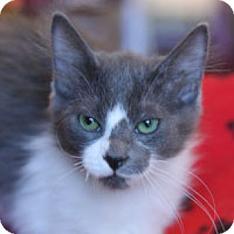 Domestic Mediumhair Kitten for adoption in Pacific Grove, California - Wallace
