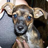 Adopt A Pet :: Juniper - Kirkland, WA