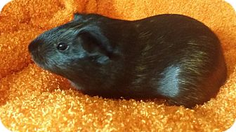 Guinea Pig for adoption in South Bend, Indiana - Alfalfa