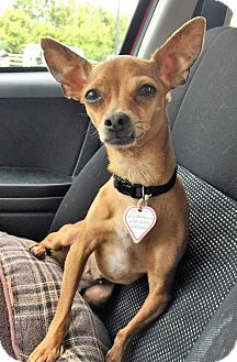 Chihuahua Dog for adoption in Buffalo, New York - Chanel
