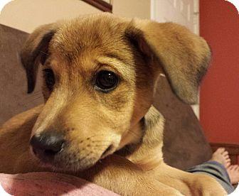 German Shepherd Dog/Rottweiler Mix Puppy for adoption in Snow Hill, North Carolina - Phoenix