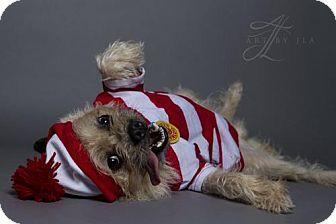 Brussels Griffon Mix Dog for adoption in Baton Rouge, Louisiana - Ludo