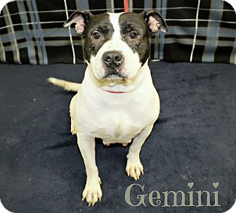 Pit Bull Terrier Mix Dog for adoption in Melbourne, Kentucky - Gemini