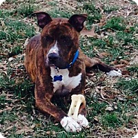 Boxer/American Staffordshire Terrier Mix Dog for adoption in Pembroke, New York - Stanley