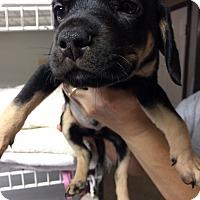 Adopt A Pet :: Fudge - St. Louis, MO