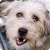 Shih Tzu Mix Dog for adoption in Bloomington, Illinois - Cruz
