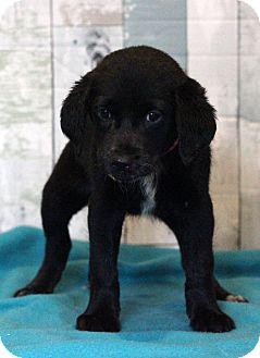 Labrador Retriever Mix Puppy for adoption in Waldorf, Maryland - Mojito