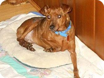 Miniature Pinscher Dog for adoption in Wellington, Ohio - Otis