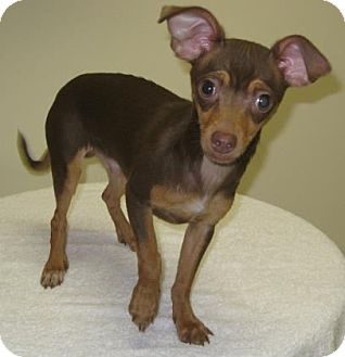 Chihuahua Mix Puppy for adoption in Gary, Indiana - Tamale