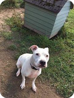 Boxer/American Staffordshire Terrier Mix Dog for adoption in Traverse City, Michigan - Hope