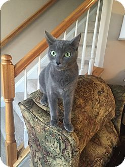 Domestic Shorthair Cat for adoption in Gainesville, Virginia - Greyson