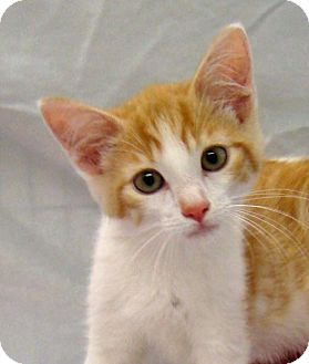 Domestic Shorthair Kitten for adoption in Greenfield, Indiana - Peanut