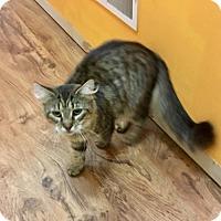Maine Coon Cat for adoption in Gerrardstown, West Virginia - Cassie