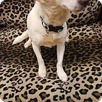 Adopt A Pet :: Darla - Valencia, CA