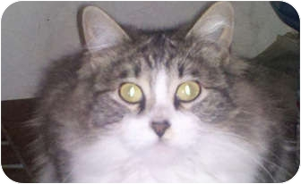 Maine Coon Cat for adoption in Laguna Woods, California - Mindy