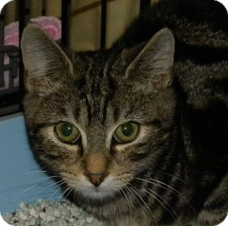 Domestic Shorthair Kitten for adoption in Stafford, Virginia - Desi