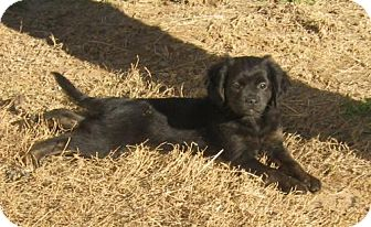 Australian Shepherd/Terrier (Unknown Type, Small) Mix Puppy for adoption in Richmond, Virginia - Delta