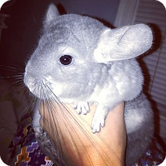 Chinchilla for adoption in Pittsburgh, Pennsylvania - Wisp