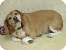 Beagle Mix Dog for adoption in Phoenix, Arizona - Sake