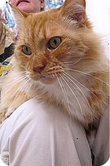 Maine Coon Cat for adoption in Davis, California - Henry