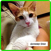 Adopt A Pet :: Scooby Doo - Miami, FL