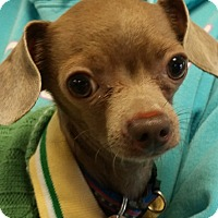 Adopt A Pet :: BRUNO MARS - New Windsor, NY
