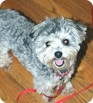 Yorkie, Yorkshire Terrier/Poodle (Miniature) Mix Dog for adoption in ...