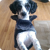 Adopt A Pet :: Benjamin - Chicago, IL