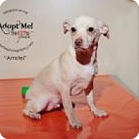Adopt A Pet :: Amstel - Shawnee Mission, KS