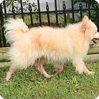 Adopt A Pet :: Tommy - Umatilla, FL