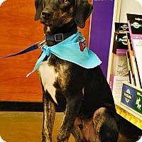 Adopt A Pet :: Dewy - Brooklyn Center, MN