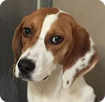 Foxhound Mix Dog for adoption in Sunnyvale, California - Prince