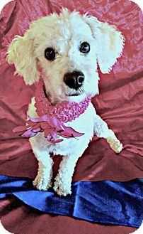 Bichon Frise/Poodle (Miniature) Mix Puppy for adoption in Redondo Beach, California - Diamond