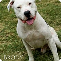 Dogo Argentino/Pit Bull Terrier Mix Dog for adoption in Columbia, Tennessee - Brody