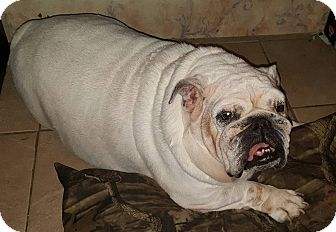 English Bulldog Dog for adoption in Odessa, Florida - Marshmellow