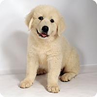 Adopt A Pet :: Vanna Pyr - St. Louis, MO