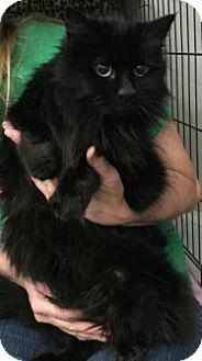 Domestic Mediumhair Cat for adoption in Centerville, Georgia - Miracle