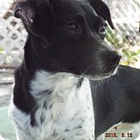 Adopt A Pet :: Stormy - Overland Park, KS