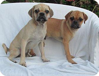 Pug Mix Puppy for adoption in WOODSFIELD, Ohio - AXON & JAXON