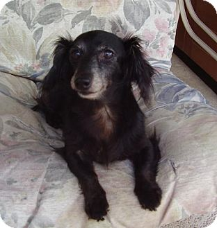 Dachshund Dog for adoption in Jacksonville, Florida - Gracie