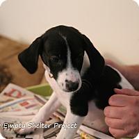 Pointer Mix Puppy for adoption in Manassas, Virginia - Frankenstein