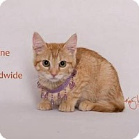 Domestic Shorthair Kitten for adoption in Westlake, California - TANGERINE
