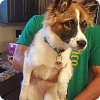 Adopt A Pet :: Molly Kate - Springfield, MO