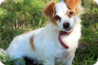 Spaniel (Unknown Type)/Terrier (Unknown Type, Small) Mix Dog for adoption in Brownsville, Texas - Sissy