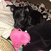 Dachshund Mix Puppy for adoption in El Cajon, California - Chaw Hee - Adoption Pending