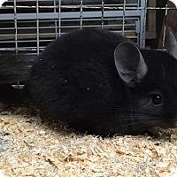 Adopt A Pet :: 3m dark ebony male chinchilla - Hammond, IN