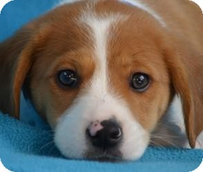 Retriever (Unknown Type)/Beagle Mix Puppy for adoption in Minneapolis, Minnesota - Presley