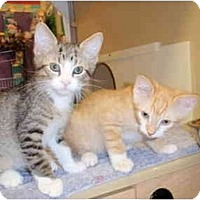 Domestic Shorthair Kitten for adoption in Houston, Texas - Foster homes needed