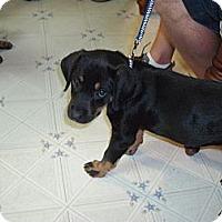 Adopt A Pet :: Sasha - Russellville, AR